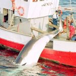 Oslo wants more done to save the whalers