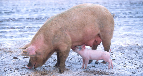 Norway agency to report find of pork in halal food