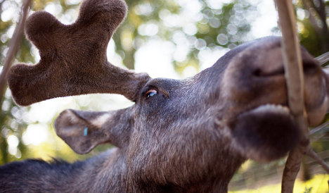 Man catches elk ordeal on video