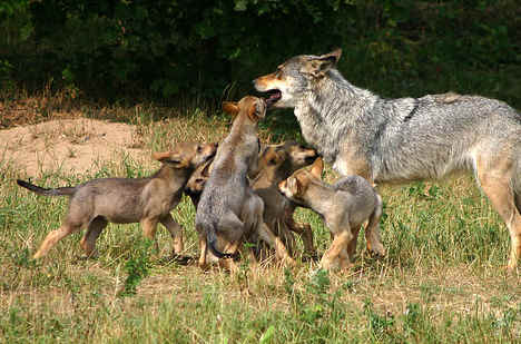 Record number of wolves killed this year