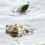 Ouch! Crab grabs otter by the eyebrow