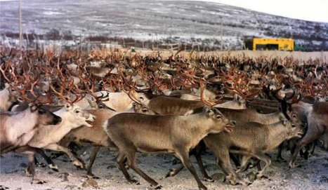 Boats to ferry 10,000 reindeer to land