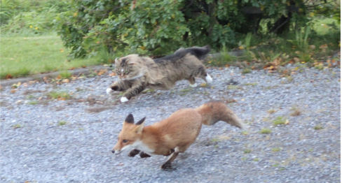 Cat chases fox in northern Norway
