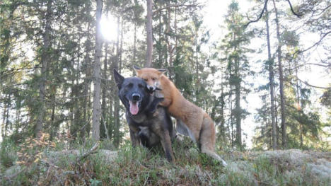 GALLERY: A fox and dog's amazing friendship