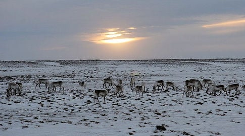 Twenty-four reindeer hit and killed by train