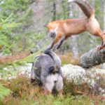 Snusen the fox leaps onto Tinni from a tree trunk. Photo: Torgeir Berge