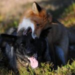 Snusen the fox and Tinni nibbling one another.Photo: Torgeir Berge
