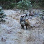 Snusen and Tinni on their way into the forest toegther.Photo: Torgeir Berge