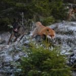 Snusen the fox running through the woods with Tinni in hot pursuit. Photo: Torgeir Berge