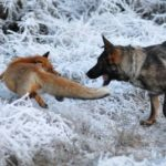 Snusen and Tinni having a run around on a frosty day. Photo: Torgeir Berge