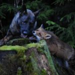 Snusen the fox and Tinni play by a tree trunk. Photo: Torgeir Berge