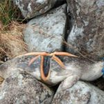 Mutilated seal found hanging from rocks