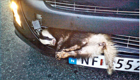 Badger gets stuck in car grille and survives