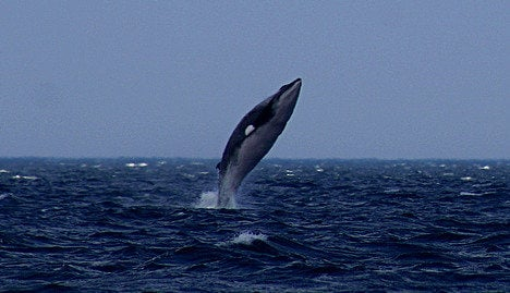 Norway sets 'high' whale quota