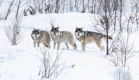 Police arrest 12 for illegal wolf hunting