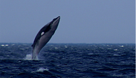 Norway to 'work harder' to sell whale to Japan