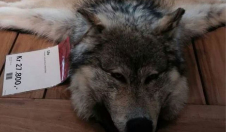 Norway store caught selling wolfskin rugs