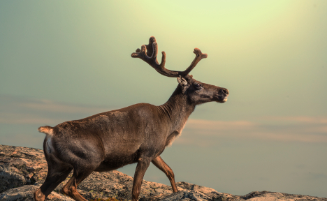 Norway's reindeers thrive in climate change