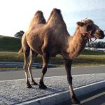 Camel goes walkabout on Norway roundabout