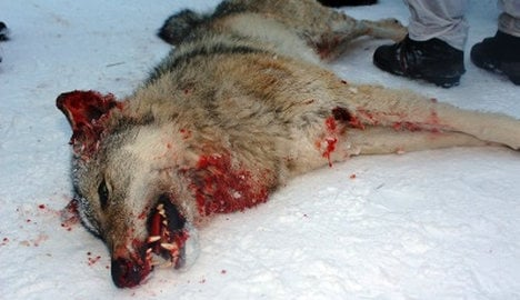 Five jailed for illegal wolf hunt in historic ruling