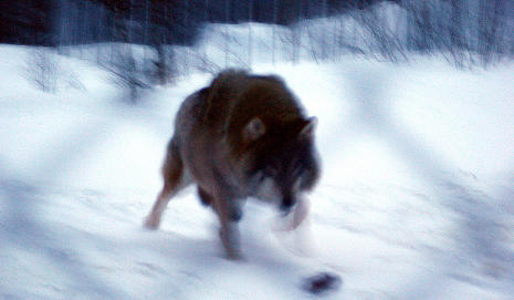 Oslo wolf pup probably pregnant by own father