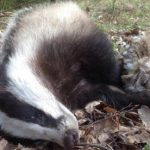 Owl and badger locked in mystery death hug