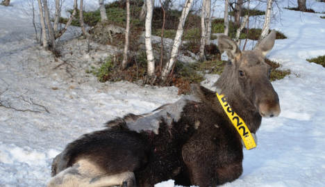 Mystery hairless elk leave scientists puzzled