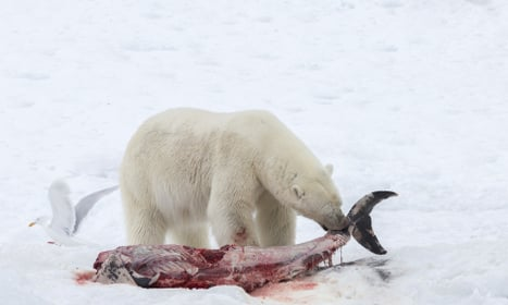 Polar bears now eating dolphins as Arctic warms