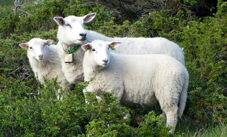 Mystery of 'kidnapped' Norwegian sheep
