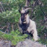 Police called in to cool down randy billy goat