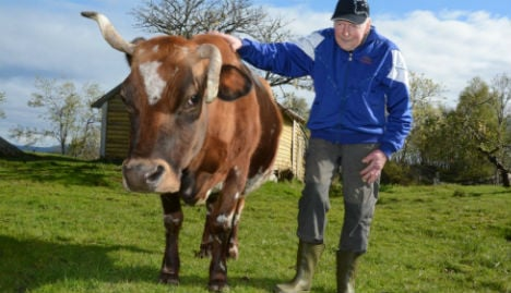 Norway's oldest and most famous cow is dead