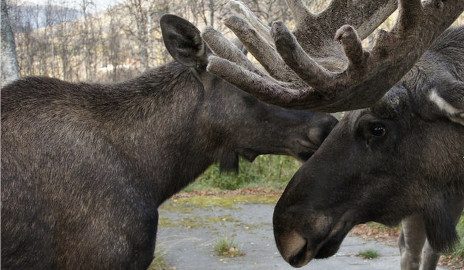 Hunters kill two elk in Norway zoo accident