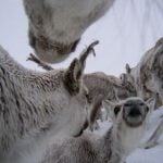 <b> Reindeer can thrive in deep snow </b> Photo: Norwegian Institute of Nature Research (NINA)