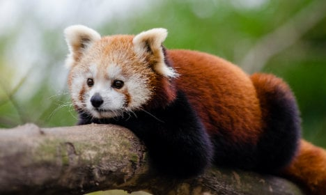 Escaped red panda to be home for Christmas