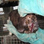 Badly wounded mink found at Norway farm