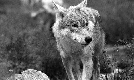 Norway's hunters target 'tiny' wolf population