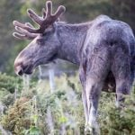 'Aggressive elk' no match for Norway kids with snowballs