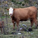 Norway woman killed by cow in 'natural' act