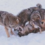 Norway's wolf population nearly doubled
