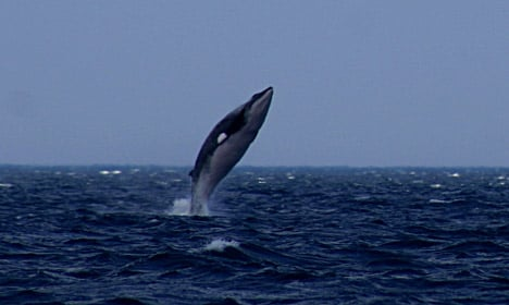 Animal rights groups slam Norway's whaling industry
