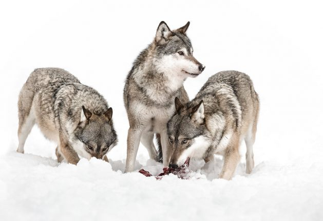 Norway reverses course on wolf 'slaughter'