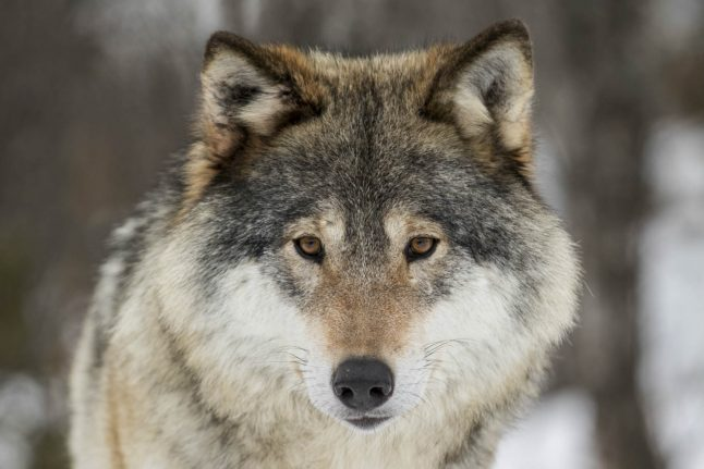 Norwegian government could lose voters over wolves