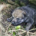 Norwegian zoo shows off cute new wolf cubs