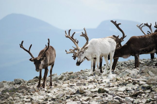 Norway cull of 2000 reindeer 'sign of panic': researcher