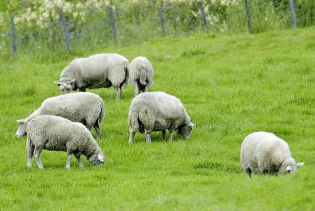 Norwegian farmers suspect sheep thieves after unexplained disappearances