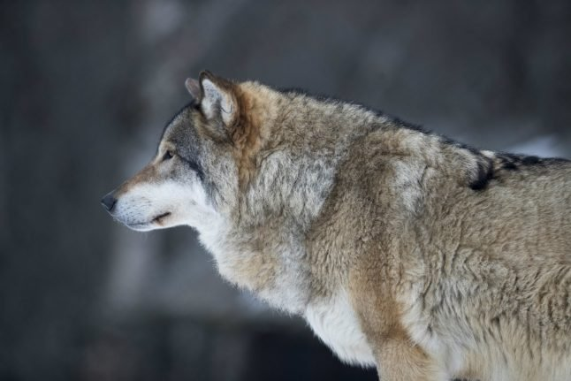 Norway temporarily suspends wolf hunting after court case