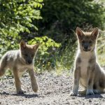 Inbreeding in Scandinavian wolves is worse than we thought