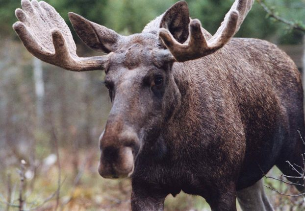 Elk shot in Norway after falling from daycare roof