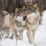 Disputed wolf hunt in Norway was legal, court rules