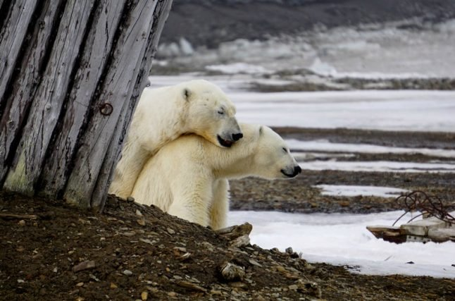 IN PICTURES: Polar bears mate outside Norwegian weather station
